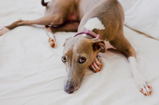 They Re Total Couch Potatoes Why Greyhounds Make Fantastic
